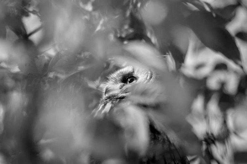Ушастая сова, птица с ушами, Asio otus, птицы Подмосковья, портрет птицы, птица на клёне, клён ясенелистный, клён американский, размытие в кадре, размытая листва, листва, боке, сова осенью, взгляд совы Погружениеphoto preview