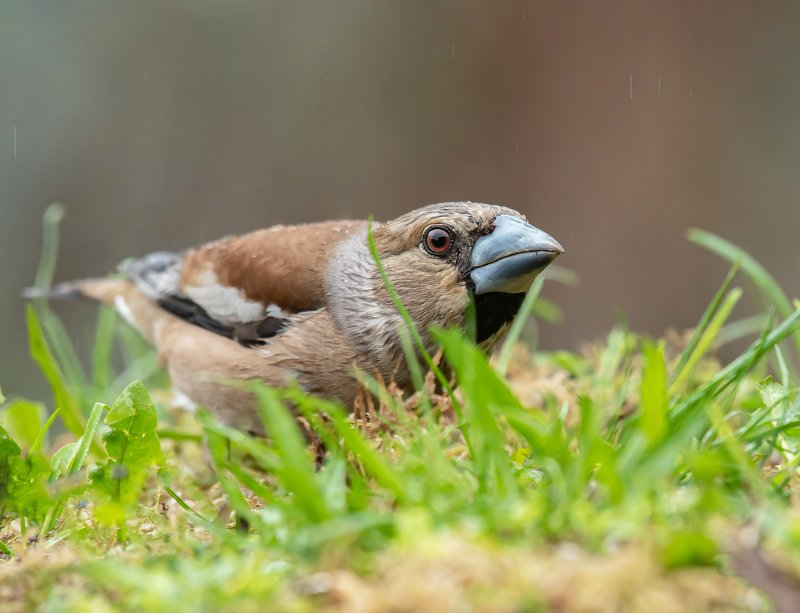 птицы,природа, дубонос Дубоносphoto preview