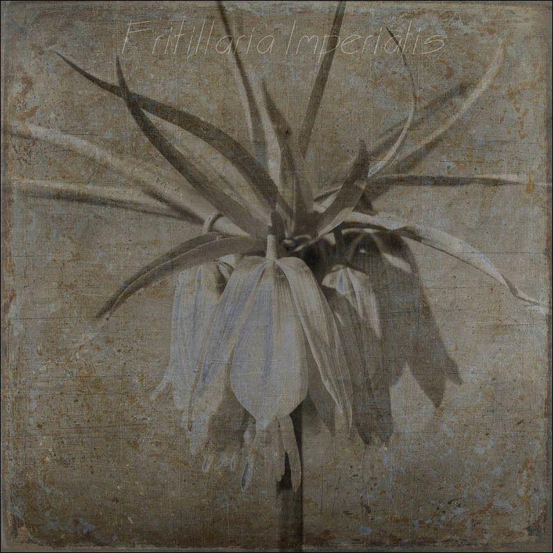 Рябчик императорский/Fritillaria imperialisphoto preview