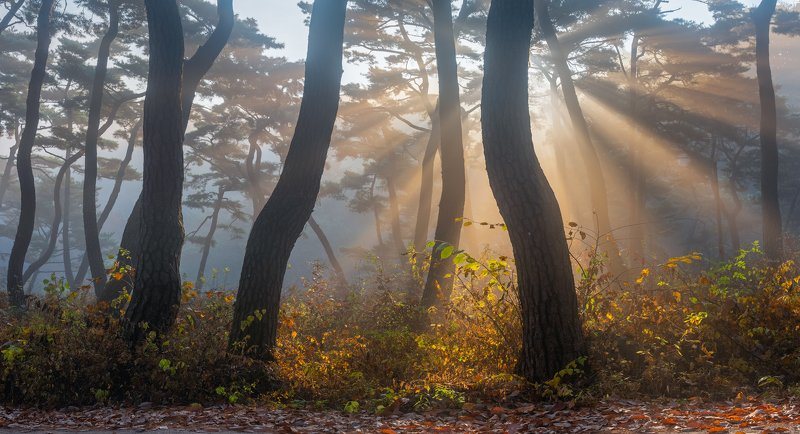 forest, light, park, trees, pine, korea, colors, tree trunk, dance Bonggoksa thousand year old forestphoto preview