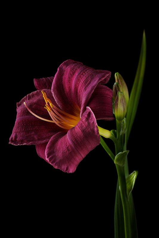 цветы, цветок, флора, природа, лилейник, лепестки, цвет Лилейник фото превью