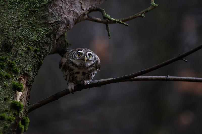 pygmyowl, воробьиный сычик, дикаяприрода, animals, autumn, birds, forest, nature, owl, predator, wildlife, животные, лес, осень, природа, птицы, сова, сычик, хищник Воробьиный сычик перед атакойphoto preview