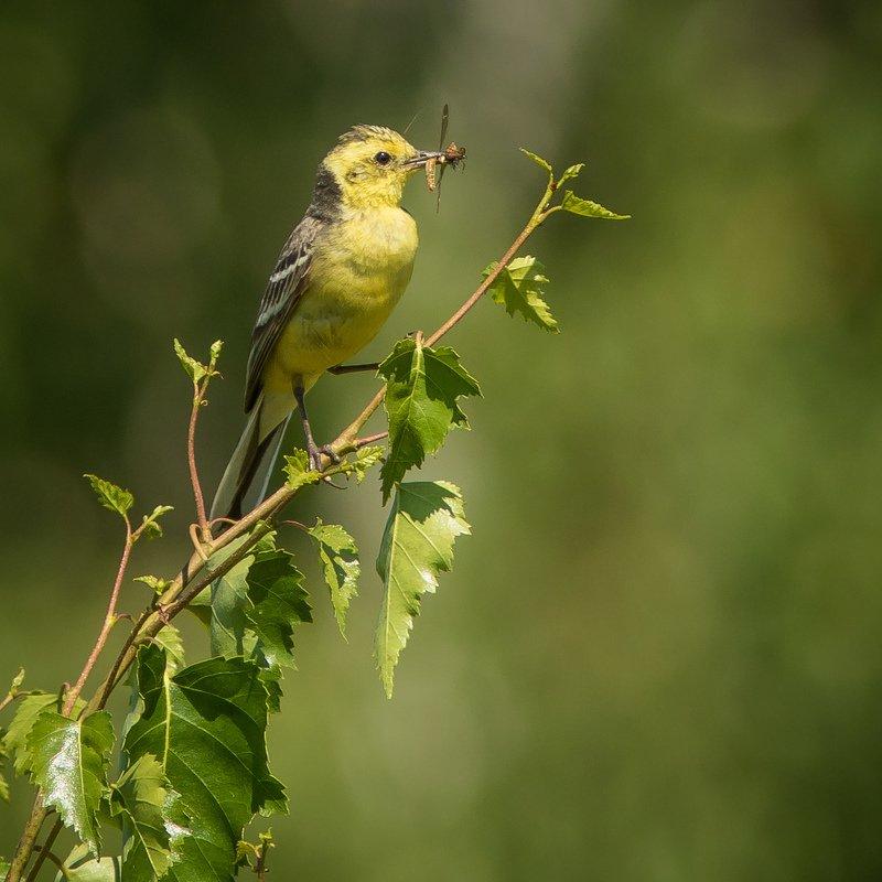 желтоголовая трясогузка Желтоголовая трясогузкаphoto preview