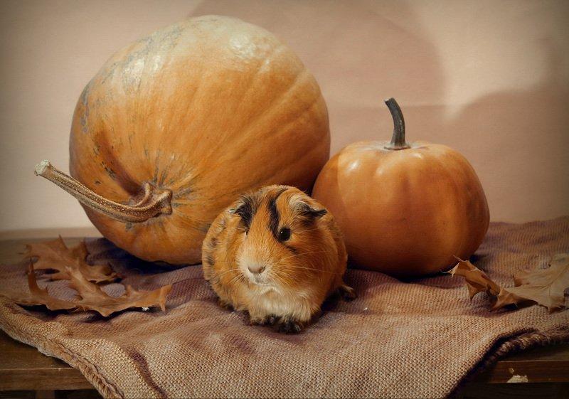 композиция, животные, морская свинка, осень, тыква Беня и тыквыphoto preview