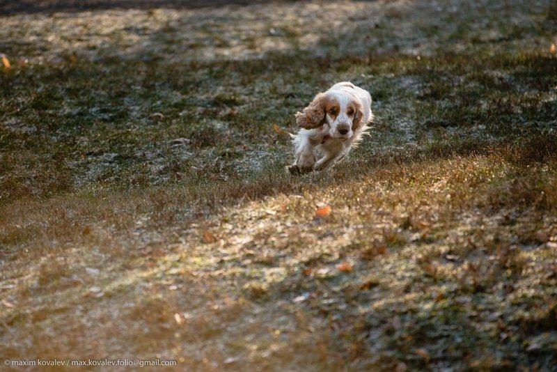 animal, autumn, dog, morning, nature, park, runner, running, spaniel, sport, бег, бегун, животное, осень, парк, природа, пёс, собака, спаниель, спорт, утро Погоня / Rushphoto preview