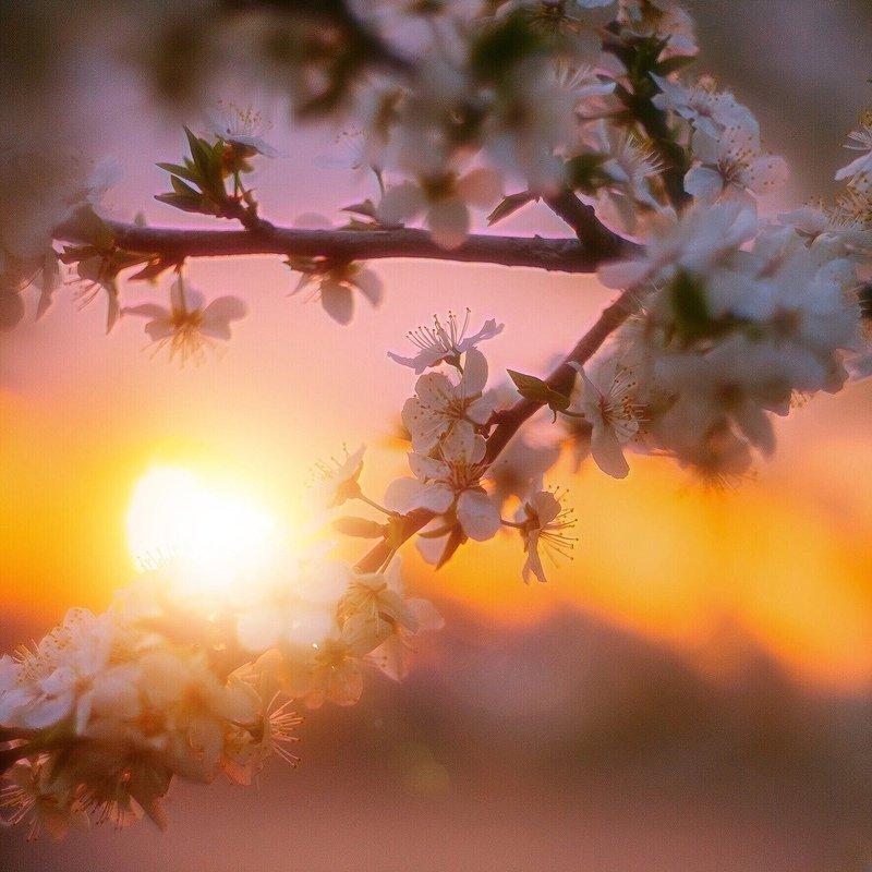 закат цветы солнце вишня ***photo preview