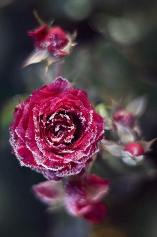 осень розы мороз иней Зима близко.photo preview