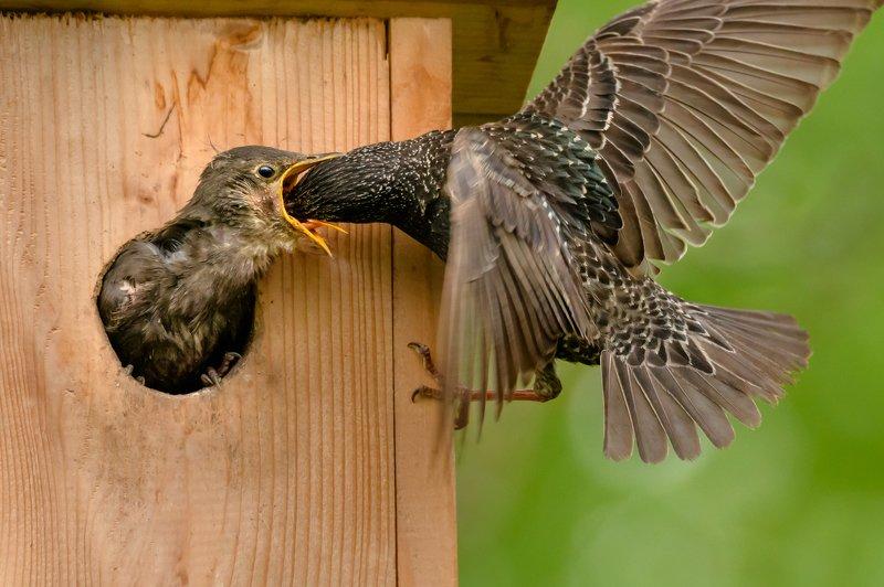 Обыкновенный скворец,Sturnus vulgaris, скворечник, кормление птенцов, подлёт, крылья птицы, жизнь птиц Очень и очень голодныйphoto preview