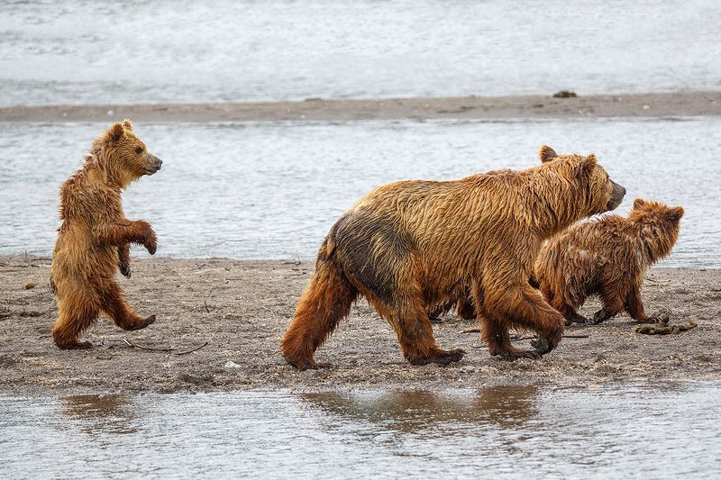 Камчатка, медведь, животные, природа, путешествие, фототуры, юмор Пойдем гулять!!!photo preview