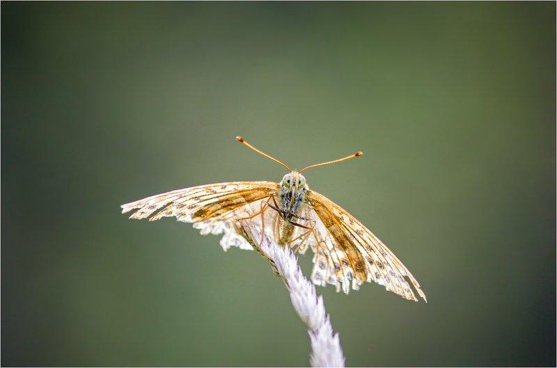 бабочка Бывалаяphoto preview