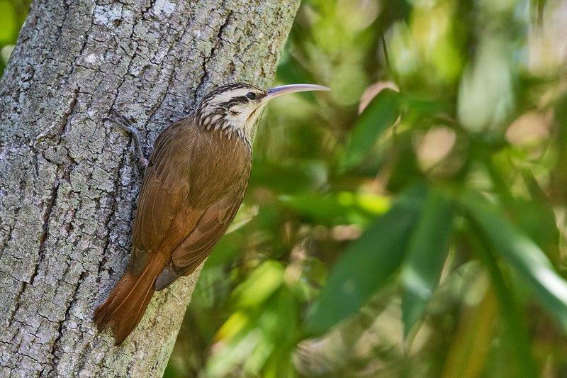 птицы, уругвай Не пищухаphoto preview