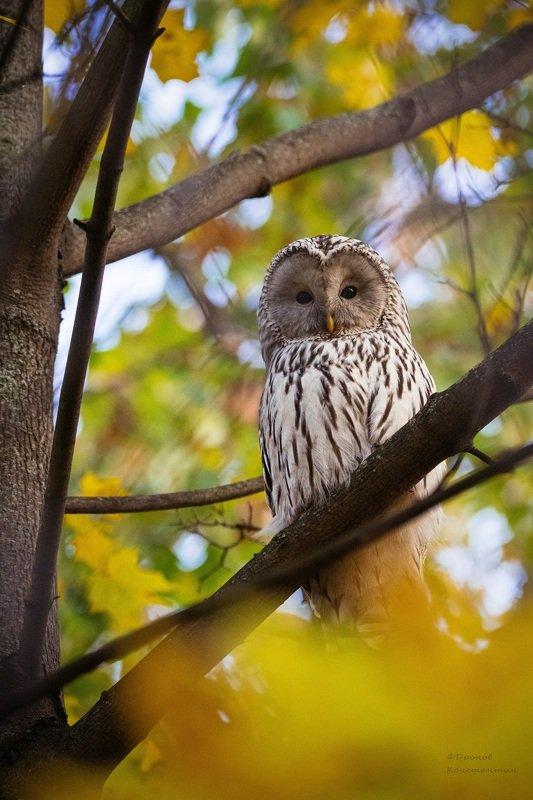 длиннохвостая неясыть, сокольники, птицы, фотоохота, сова Осенняяphoto preview