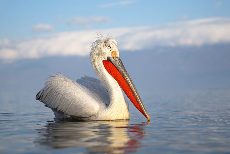 Dalmatian pelicanphoto preview