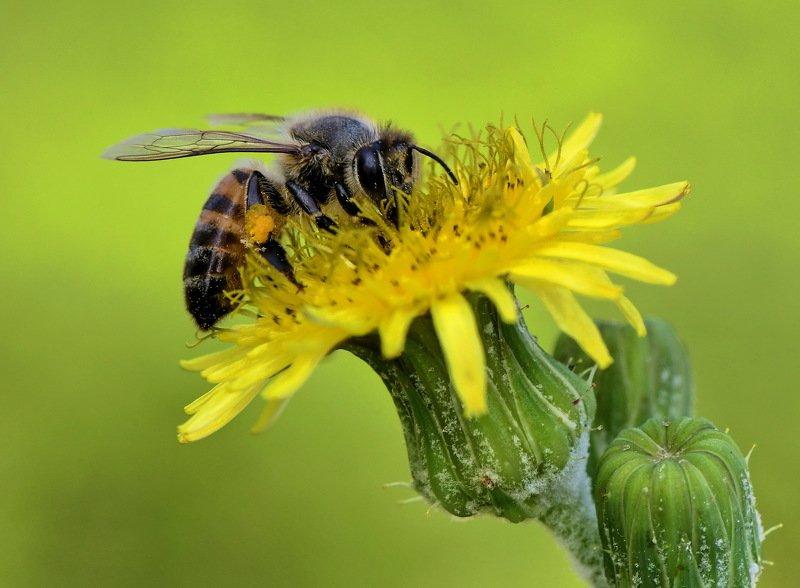 abelha, denis moura, mogi das cruzes, brasil, bee Polinizaçãophoto preview