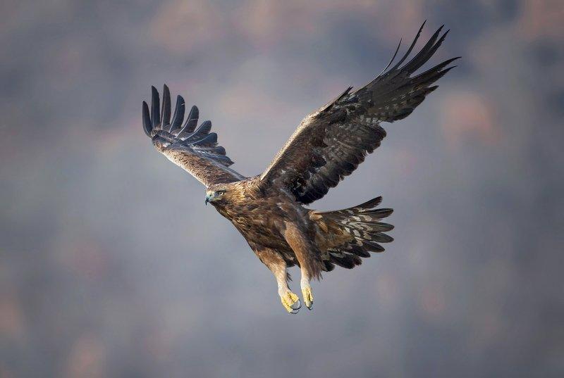 golden eagle, беркут, aquila chrysaetos Golden eaglephoto preview