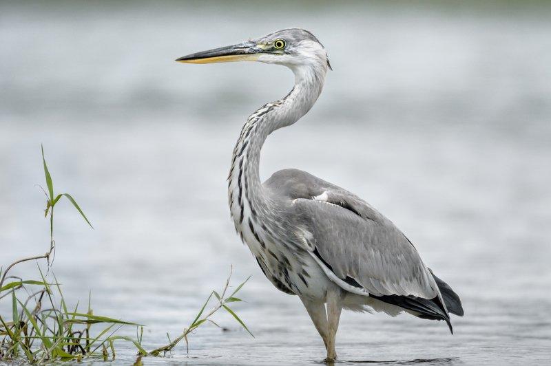 серая цапля, вода, Москва река, птица в воде, Ardea cinerea, серый, цапля на сером, изгибы, птица с длинной шеей, серая птица Утончённость во всёмphoto preview