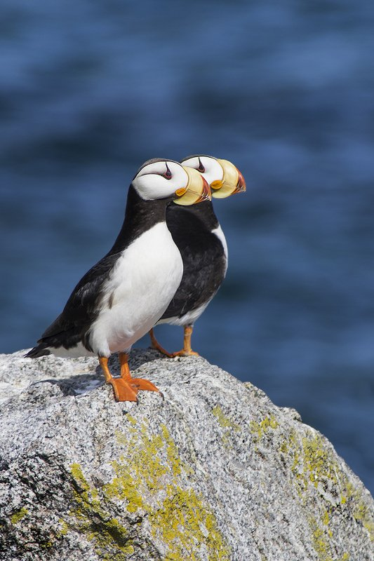 Ипатка, Fratercula corniculata, Horned Puffin, птицы, дикая природа, Чукотка, birds, Гордый профильphoto preview