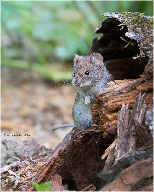 мышь Маленький позитивчик )photo preview