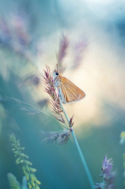 moth, butterfly, evening, spotlight, tender, meadow, summer, soft Вечерняя прелестницаphoto preview