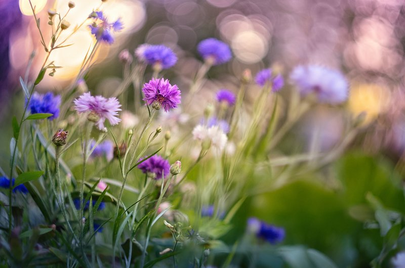 blossom, cornflower, spring, botanical, plant, flowers, garden, wild, pink, blue, purple, bokeh, wildflower, close-up, petal, marguerite, bachelor buttons, wild, colorful, clear, bright, joyful, dream, heaven, flora,  meadow Василькиphoto preview