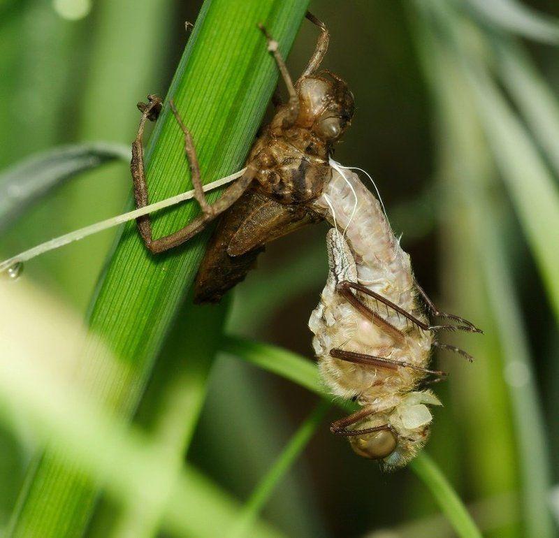стрекоза, личинка, рождение, макро Рождениеphoto preview