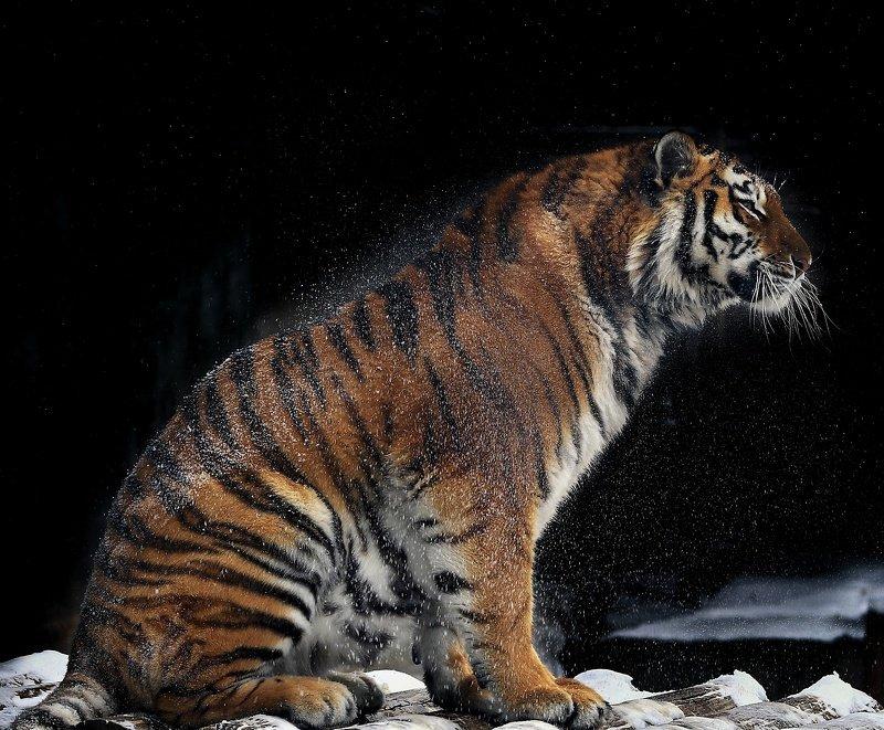 Амурский тигрphoto preview
