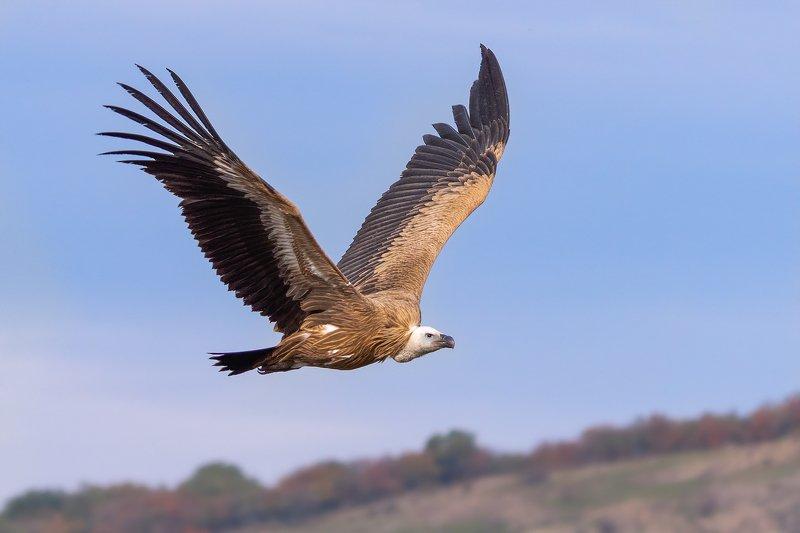 Griffon vulture (Gyps fulvus)..photo preview