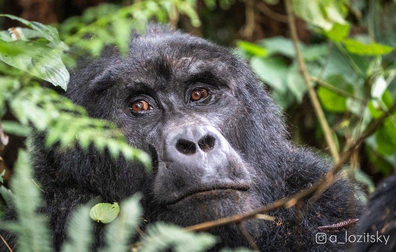 Горная горилла, Угандаphoto preview