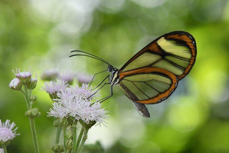 Borboleta, Denis Moura, Mogi das Cruzes, Brasil, Butterfly Borboletaphoto preview