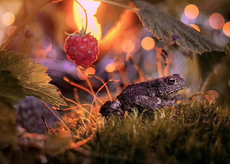 жаба закат малина лес ягоды красота боке макро ...photo preview