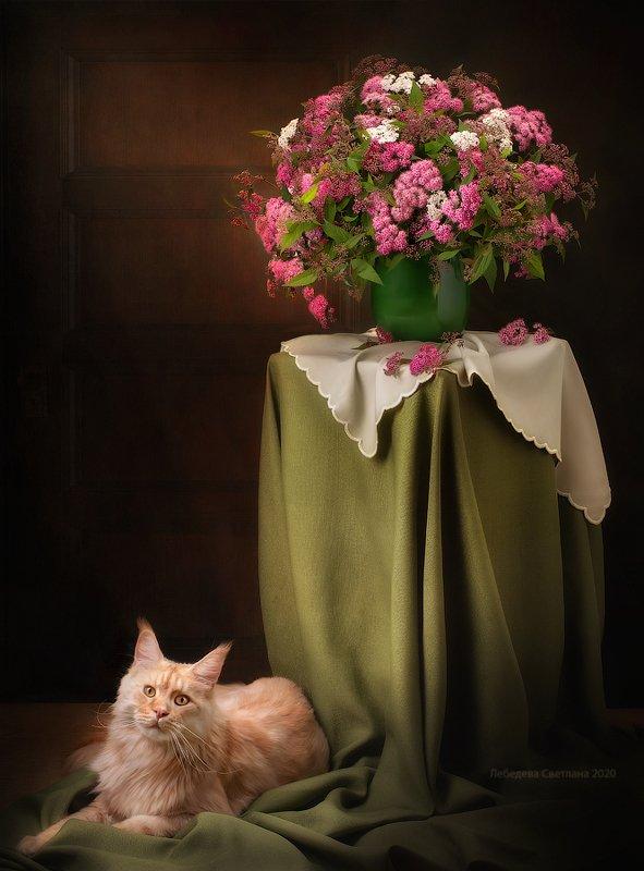 кот,мейнкун,цветы,спирея С букетом цветов и котом Ричиphoto preview
