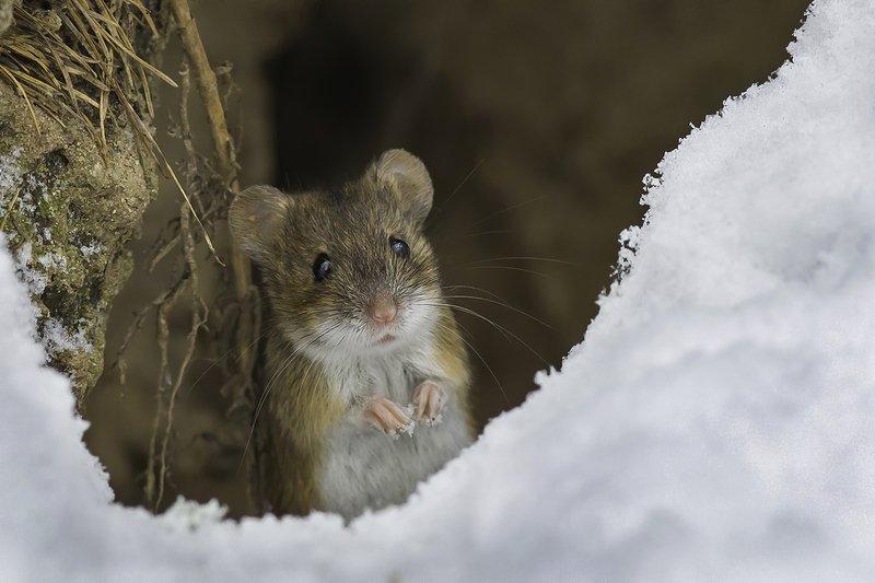 мышь, лес, снег, декабрь \