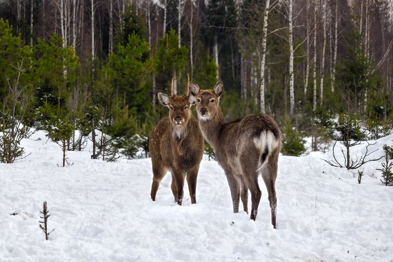 лес,животные,олени встречаphoto preview