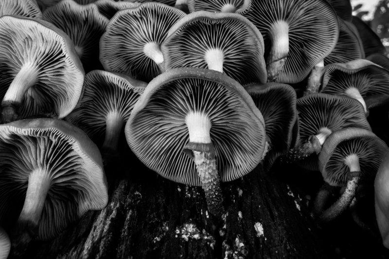 грибы, грибы снизу, чб, пластинчатые грибы, пластинки, летний опёнок,Kuehneromyces mutabilis Семейкаphoto preview