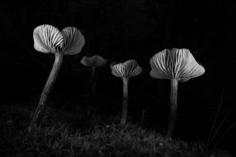 грибы, грибы снизу, чб, пластинчатые грибы, пластинки, лаковица В глубинеphoto preview