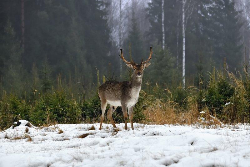 лес,живоьные,олень ***photo preview