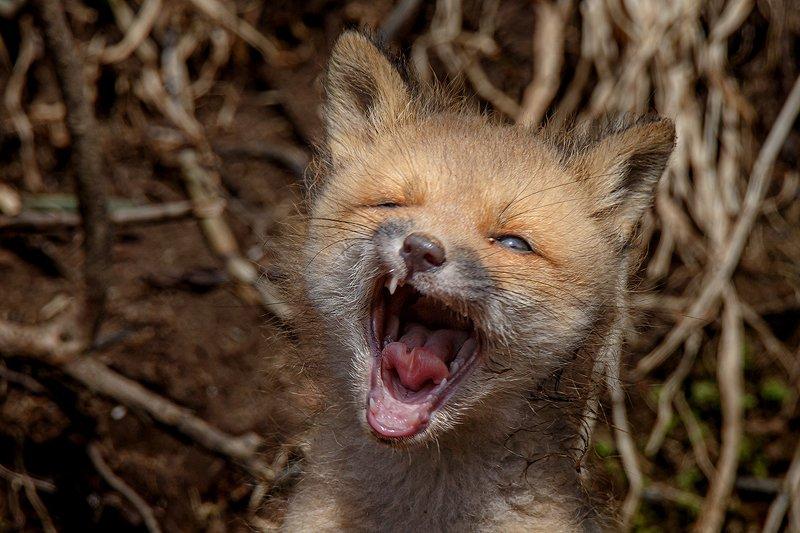 Камчатка, лиса, животные, природа, путешествие, фототур Белый клыкphoto preview