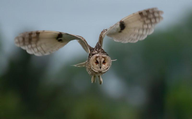 Ушастая сова (Asio otus)photo preview