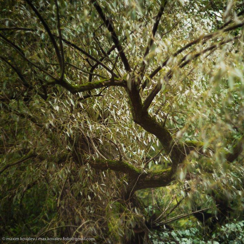 autumn, branch, foliage, forest, leaf, leaves, nature, park, plant, tree, willow, ветка, дерево, ива, лес, лист, листва, листья, осень, парк, природа, растение Старая ива / Old willowphoto preview