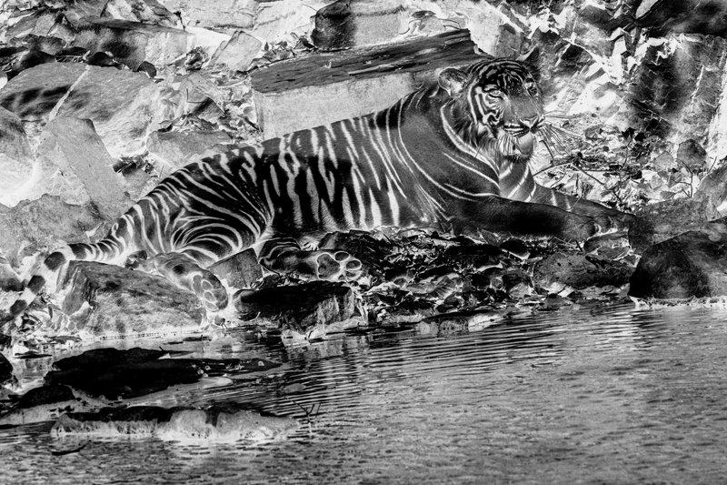тигр БЕНГАЛИЯ(ИНДИЯ)photo preview