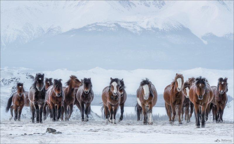 алтай, горный, алтайский, край, курайская, степь, курай, северо-чуйский хребет, зима, лошади, россия, horse, horses, russia, winter Мороз по коже ..photo preview