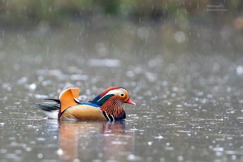 птицы, фотоохота, утка, мандаринка Про нелетную погодуphoto preview
