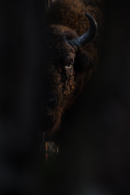 калужские засеки, заповедник, дикая природа, зубр, европейский зубр, wildlife, european bison, bison, nature, зубков игорь ***photo preview