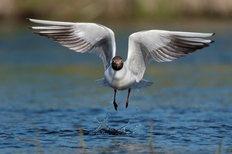 озёрная чайка, обыкновенная чайка, речная чайка, Chroicocephalus ridibundus, белая птица с черноё головой, чайка на взлёте, вода, Москва река, брызги, полёт, крылья птицы Взлёт без усилийphoto preview