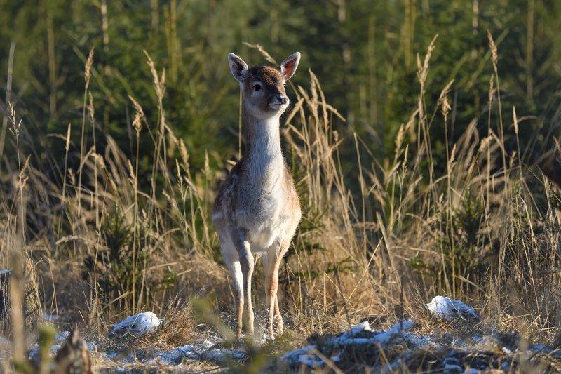 лес,животные,олени шустрый малыйphoto preview