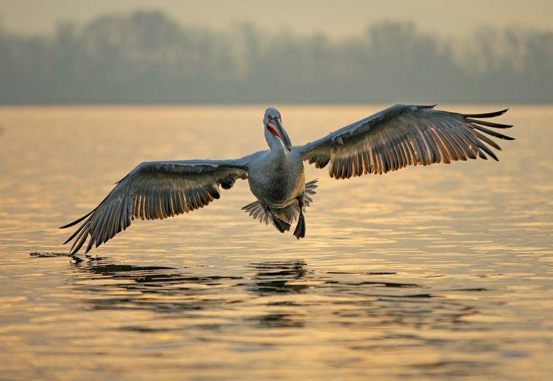 #dalmatian pelican #pelecanus crispus Dalmatian pelicanphoto preview