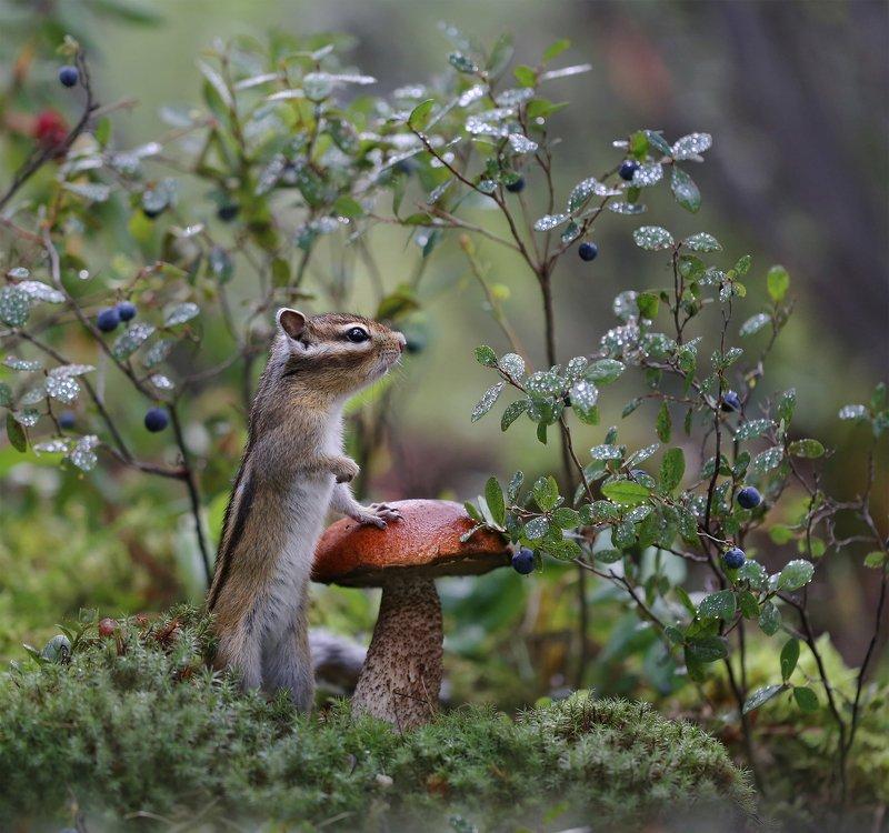 нерюнгри, бурундук, якутия, дикие_животные, грибы, подосиновик, лето, yakutia, chipmunk, mushroom Кто там? Выходи! Выходи, подлый трус!photo preview
