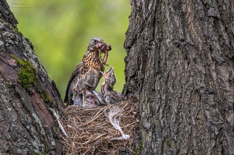 птицы, фотоохота, дрозды, рябинник Забот полон ротphoto preview