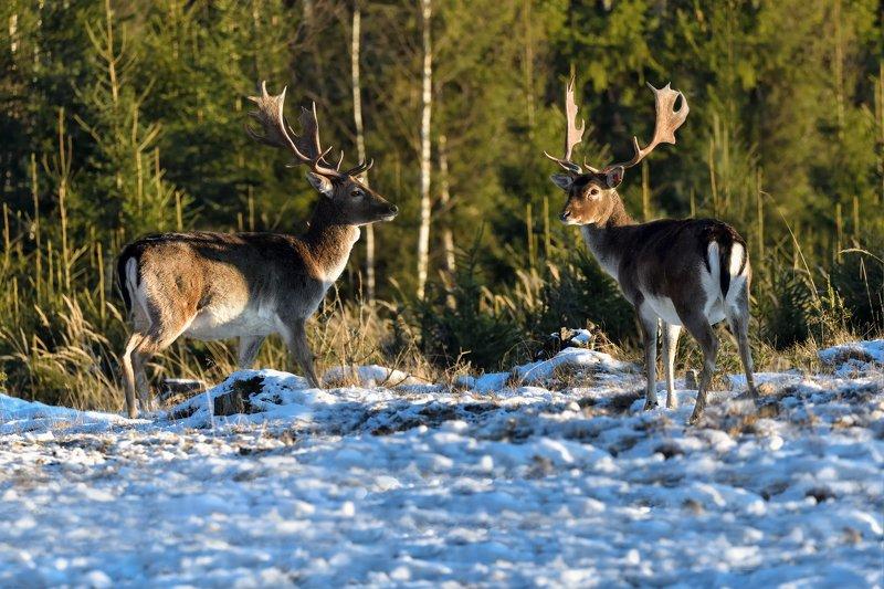 лес,животные,олени близнецыphoto preview