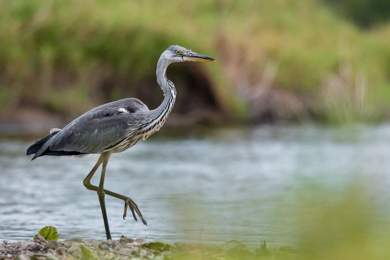 серая цапля, вода, Москва река, птица в воде, Ardea cinerea, серый, цапля на мели, изгибы, птица с длинной шеей, серая птица Будни рыболоваphoto preview
